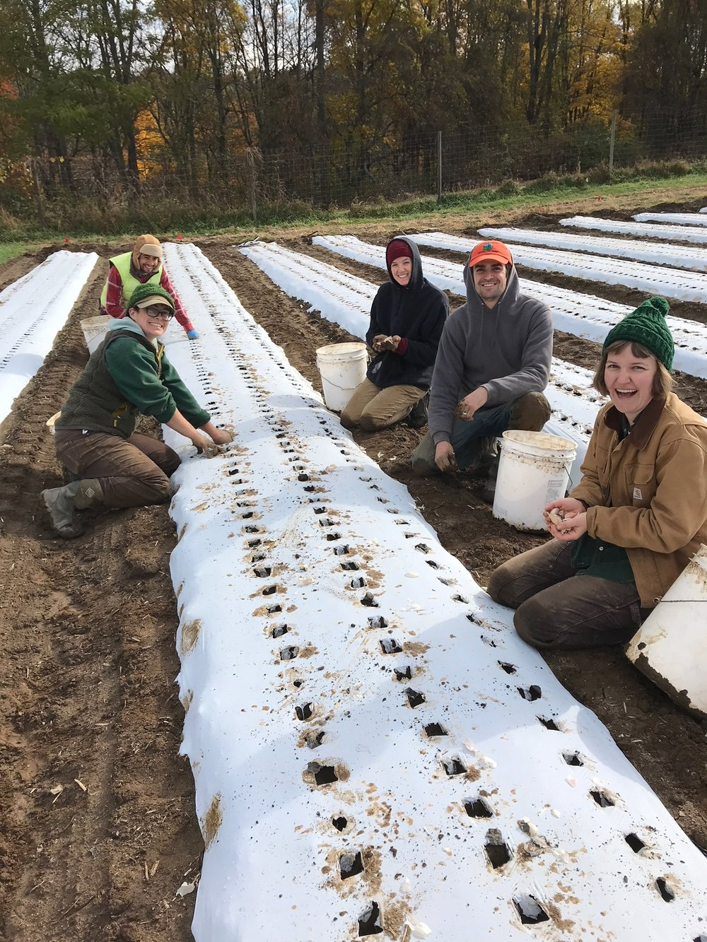 The team planting garlic on a chilly Halloween morning