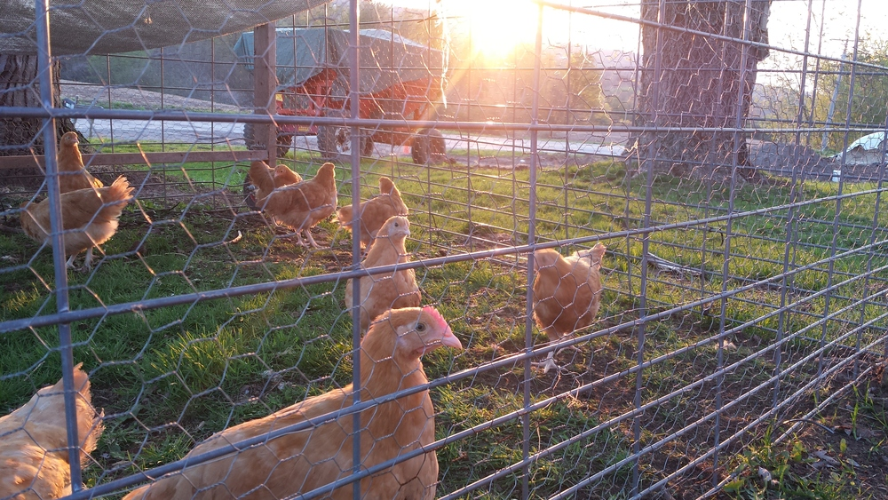 We acclimate our young Buff Orpingtons to pasture in the safety of chicken tractor before they are allowed to free range.