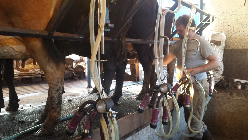 Chris milking Spitfire, Serena, Cupcake, and Dulce in the parlor.
