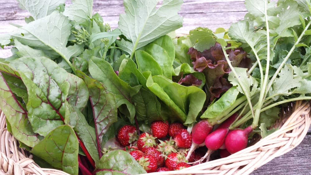 A June CSA 1/2 basket filled with radishes, strawberries, leaf lettuce, beet greens, and broccoli raab!