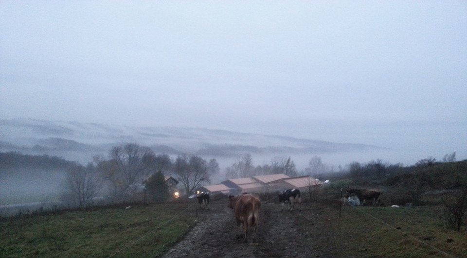 Cows coming in from pasture on a misty Autumn morning.