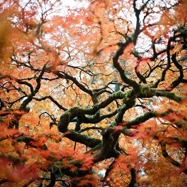 🍁respecttrees🍁  #120mm #hasselblad500cm #treeporn #portland #filmisnotdead #porta400