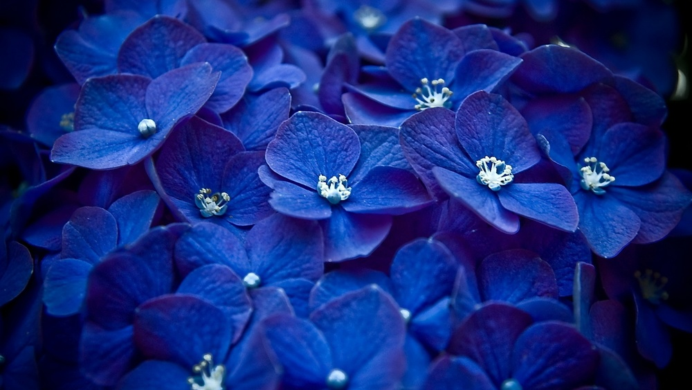 Full-view-and-download-blue-flowers-wallpaper-with-resolution-of.jpg