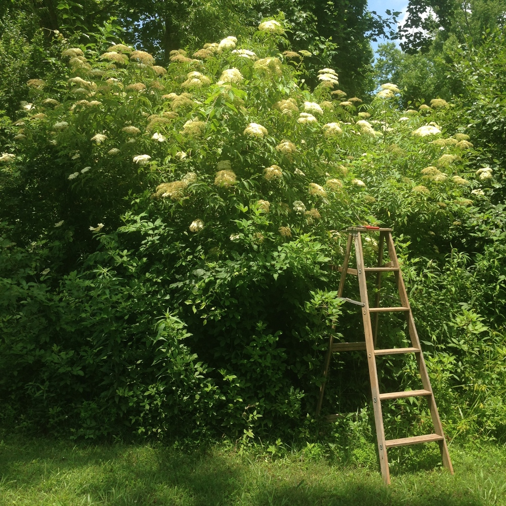 Elderflower in my mother's yard. We've decided to stop fighting the birds for the berries and instead ferment the blossoms with rose for kombucha.