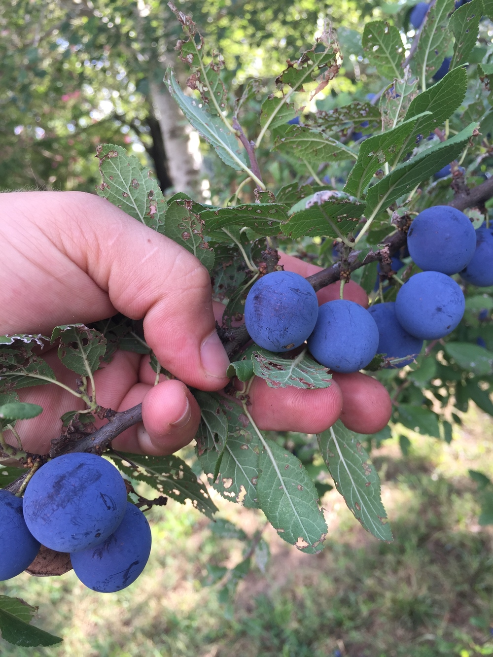 It's important that this plum has disease free fruit. Like, I haven't ever seen a healthy fruiting plum in the Deep South. Let me know if you have via email. We made Mountain Plum and Sage after harvesting 25-26lbs of this fruit off of two medium sized trees in Cloudland, Georgia. (Zone 6b/7a)