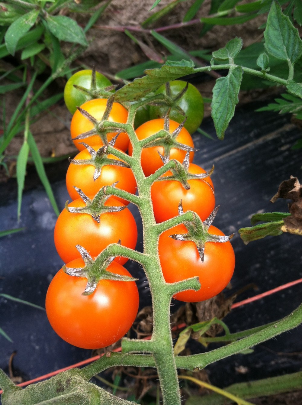 the famous Sungold tomato