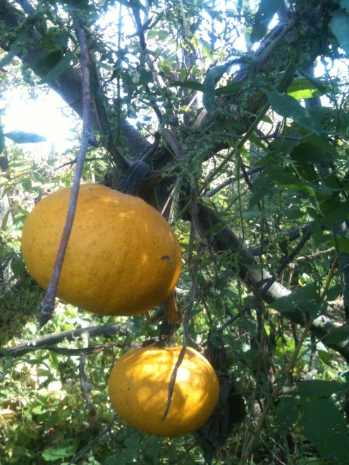 pumpkin vine that found its way up a tree!