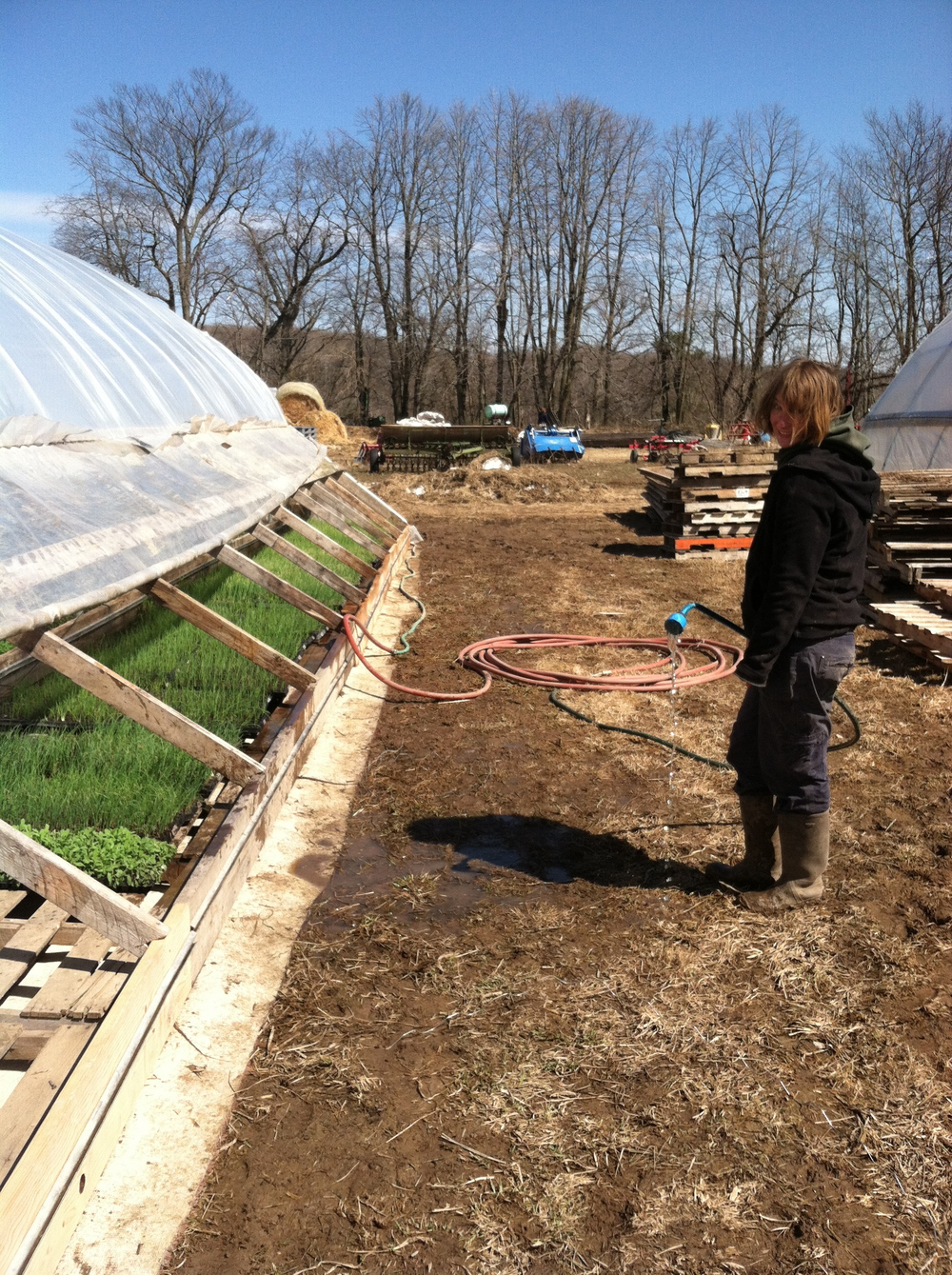 Betty watering the cold frame