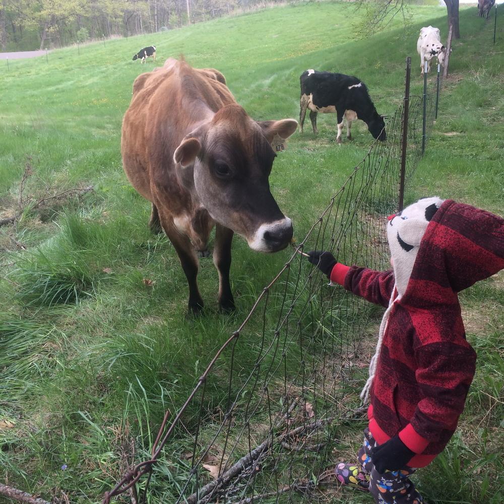 Otto feeding cows dandelions.