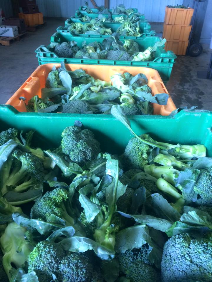 beautiful broccoli is here!