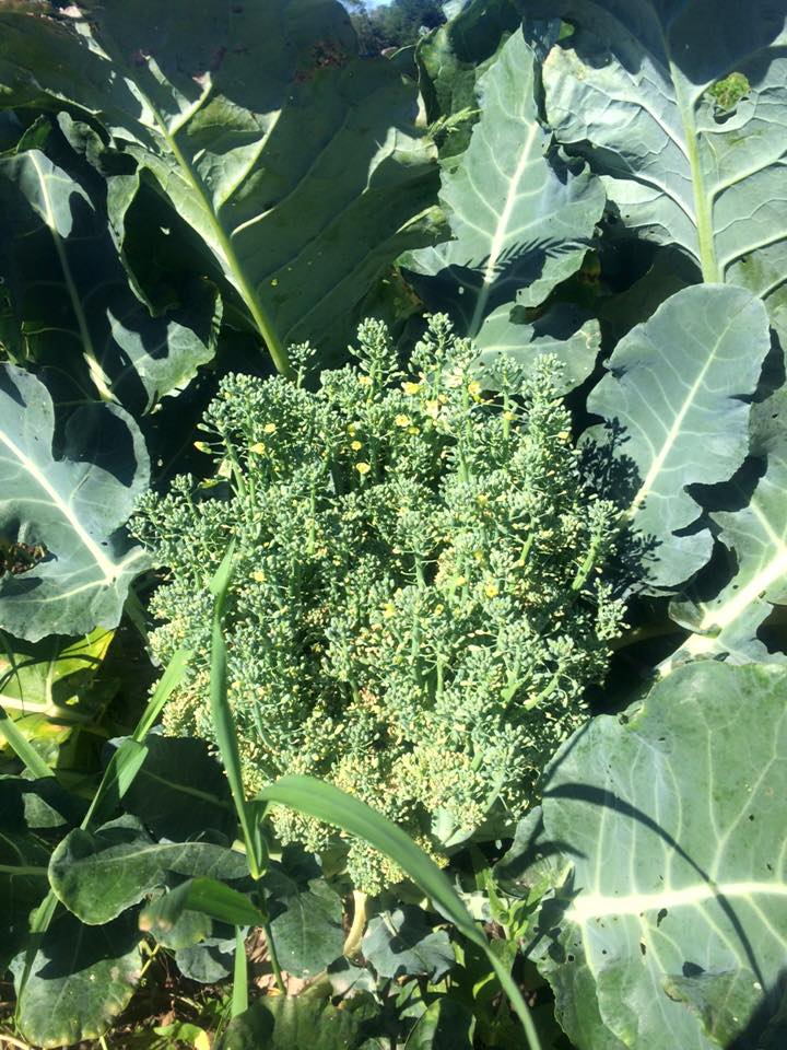 Did you know that a head of broccoli is a bunch of tiny flower buds?  Here's what happens when a head of broccoli isn't harvested...