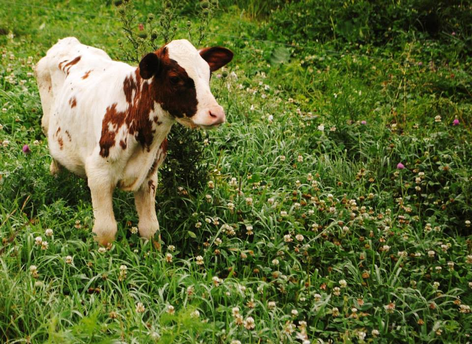 one of the calves enjoying some clover