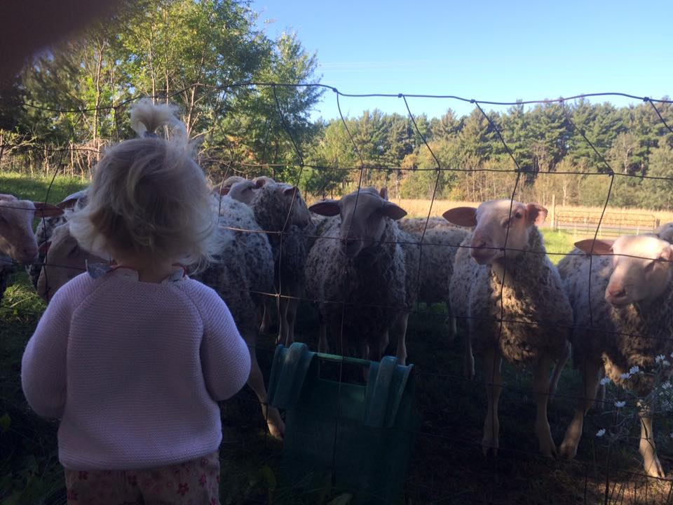 friend of the farm visiting with the sheep
