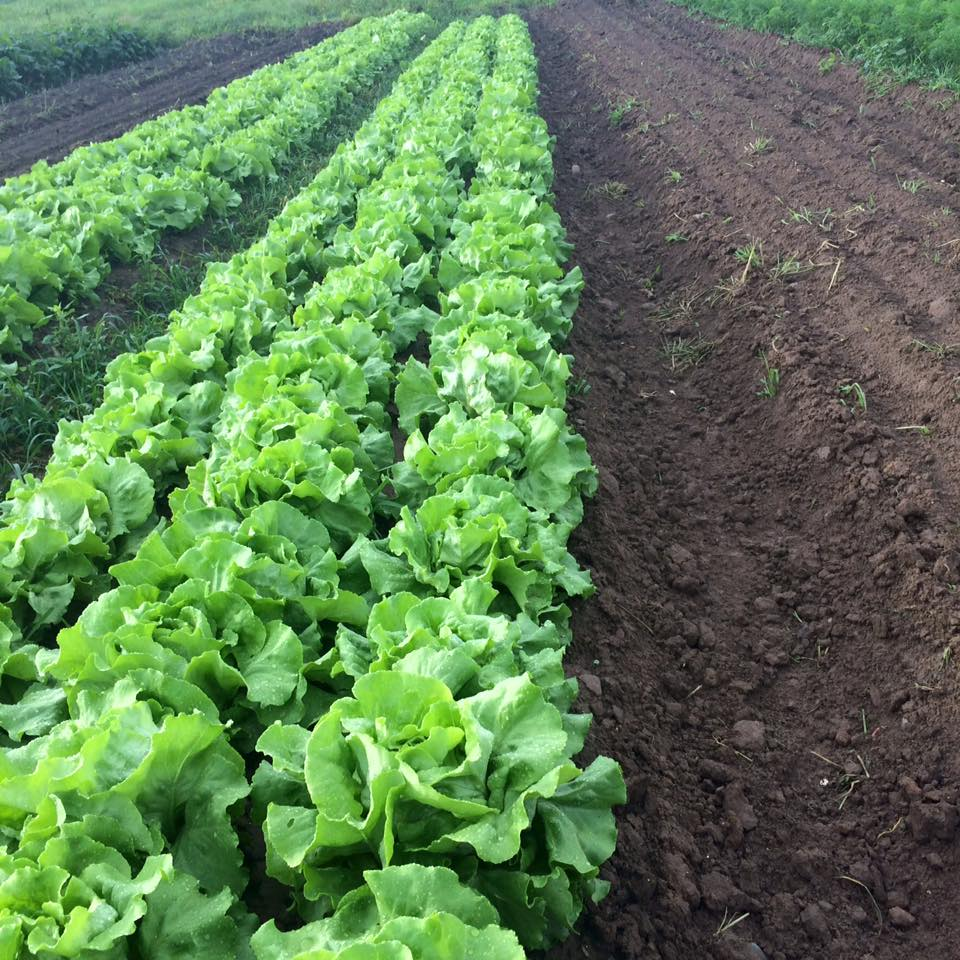beautiful crop of lettuce