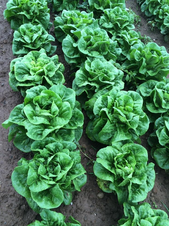 Another lovely lettuce shot