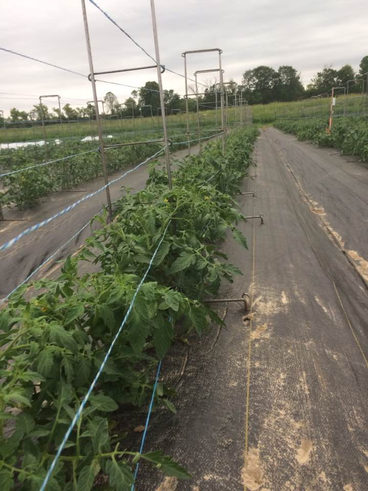big beautiful healthy tomato plants before the storm