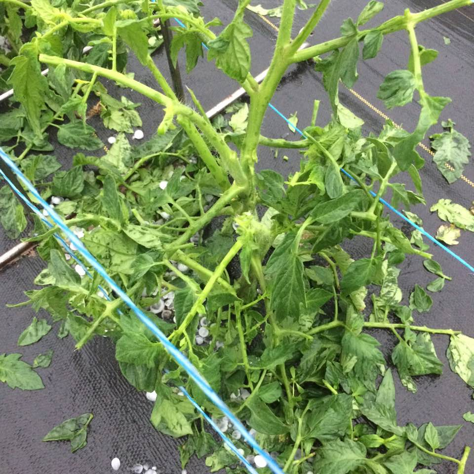 tomato plants broken and leaves shredded after the stor