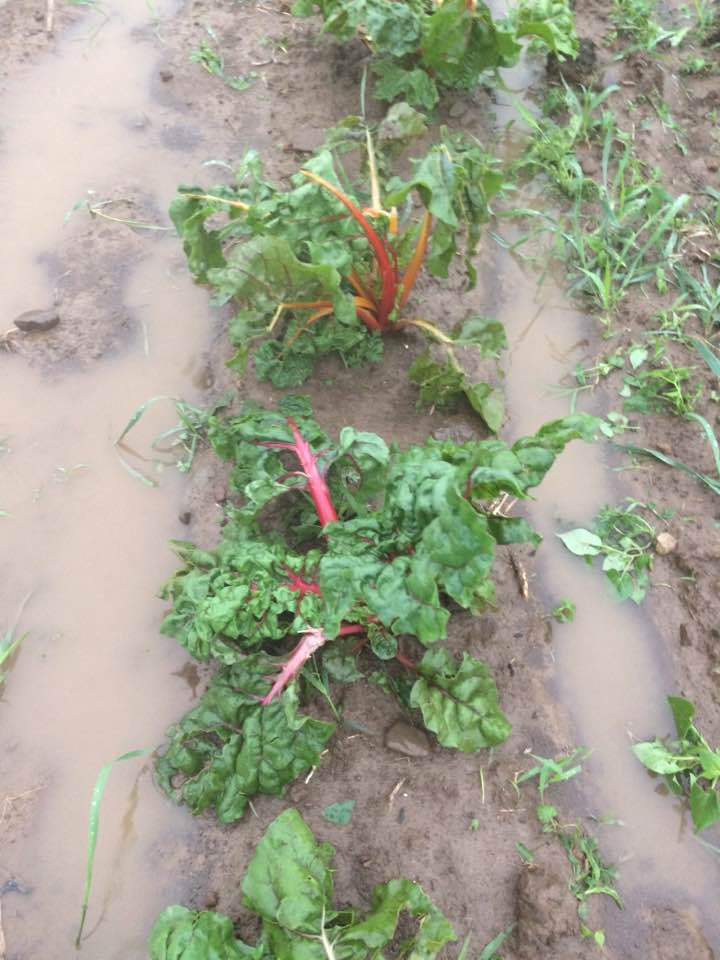 rain and hail damaged chard