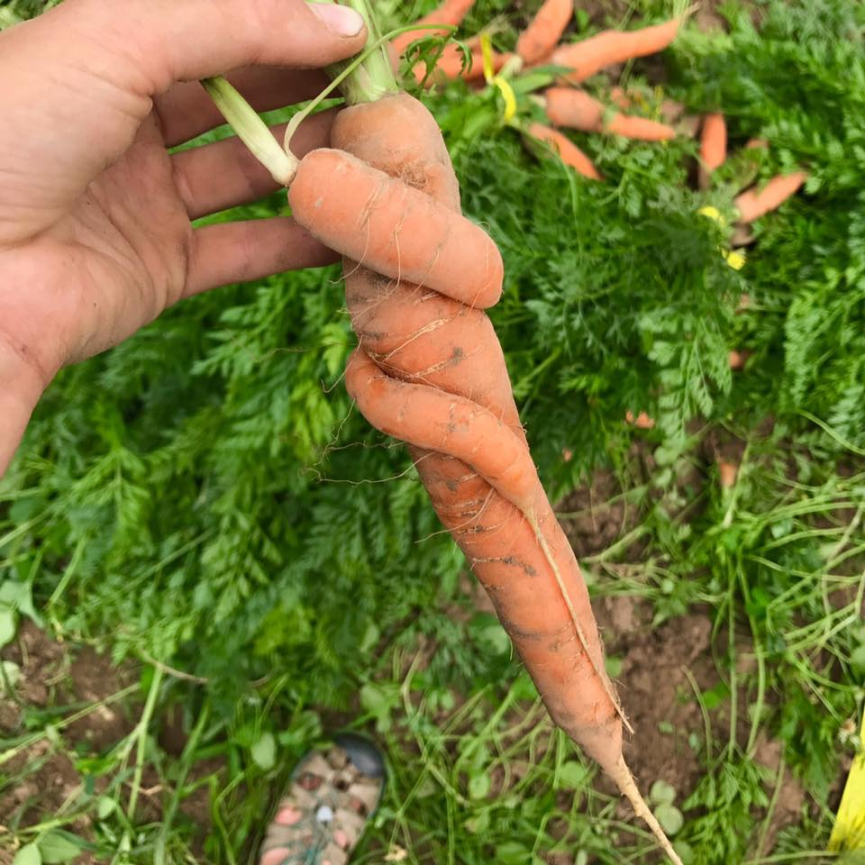 carrot hugs