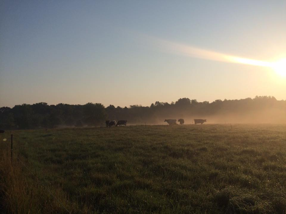 cows distilling sunlight