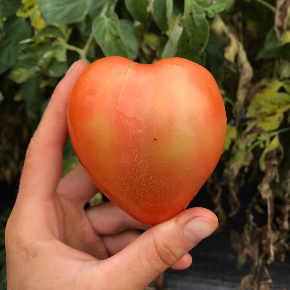 Lily finds love in the tomatoes