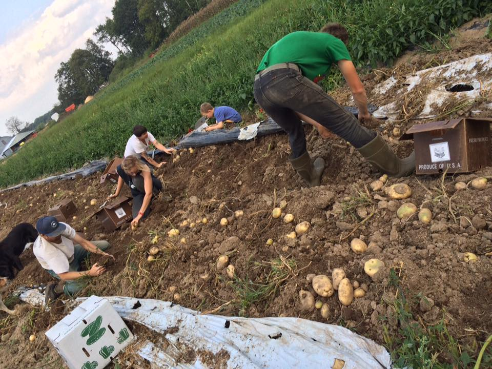 All hands on deck for potato digging !