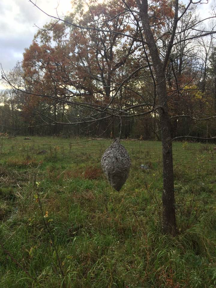 big wasp nest revealed when the leaves fell off the tree