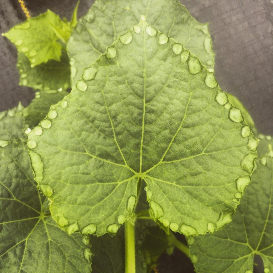 cucumber leaf with rain jewels