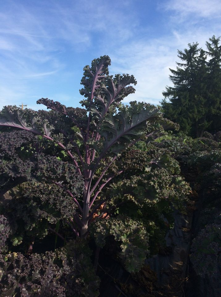 I think this purple kale plant might catch up to the height of the pine tree you see growing behind it.