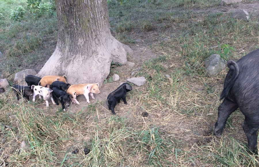 a surprise litter of piglets brings lots of delight and a little dismay to the farm…