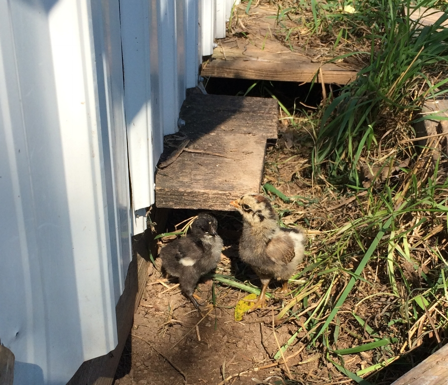 2 baby chicks!