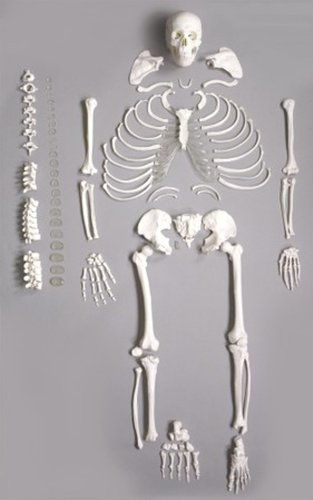 unassembled skeleton