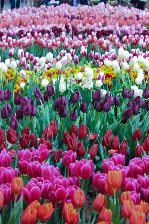 tulips-9522.jpg