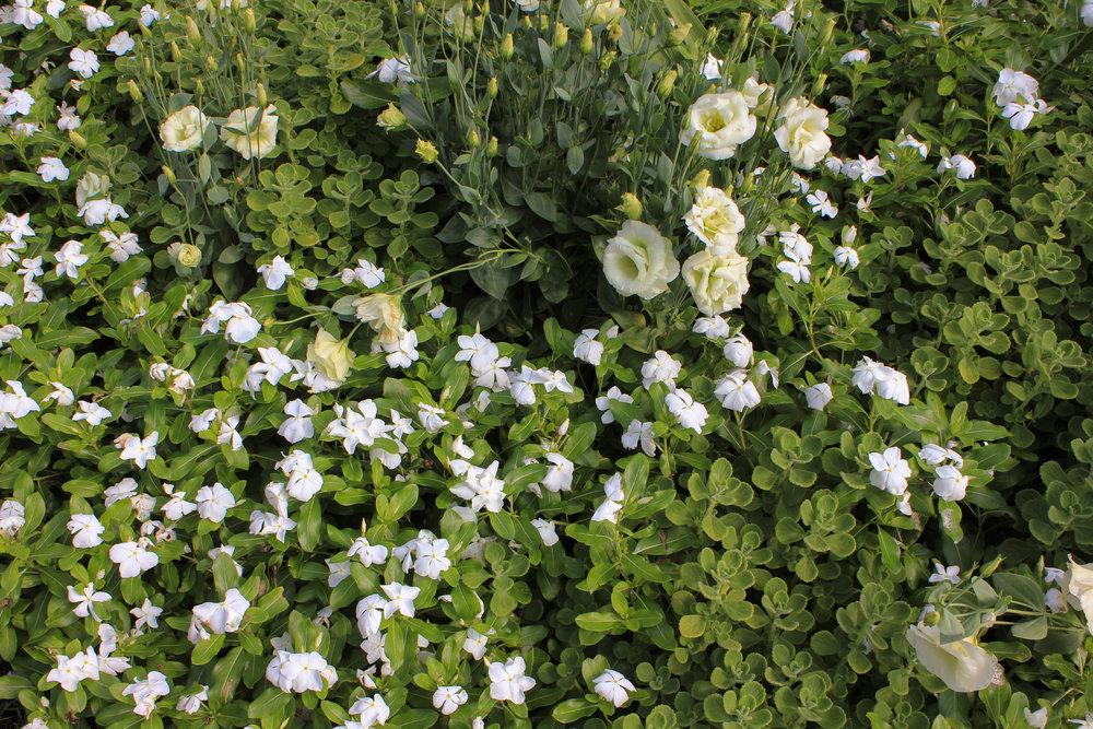 white flowers 2-6891.jpg