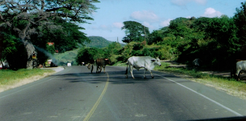 48-Cattle Crossing 12-9-05.jpg