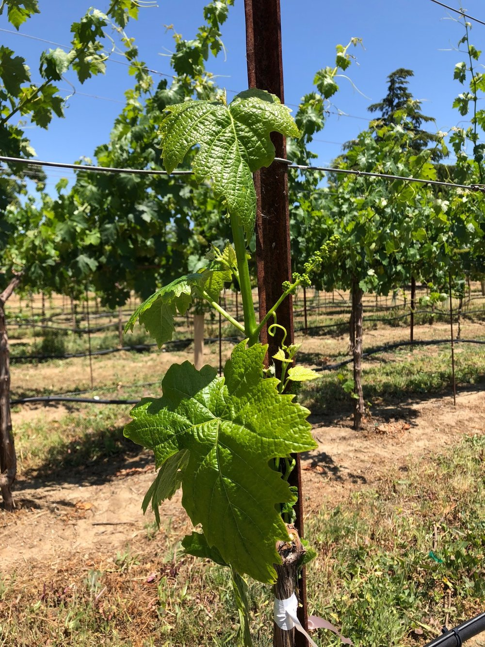 Grafted petit verdot (May2018).jpg