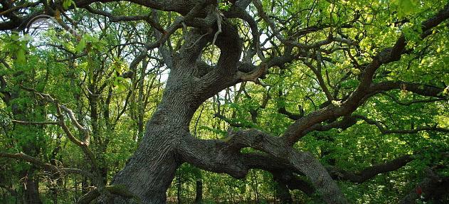 Stejarul îngenuncheat din Pădurea Caraorman - cel mai bătrân şi mai mare stejar al Deltei, înalt de peste 30 de metri şi gros de 4 m.