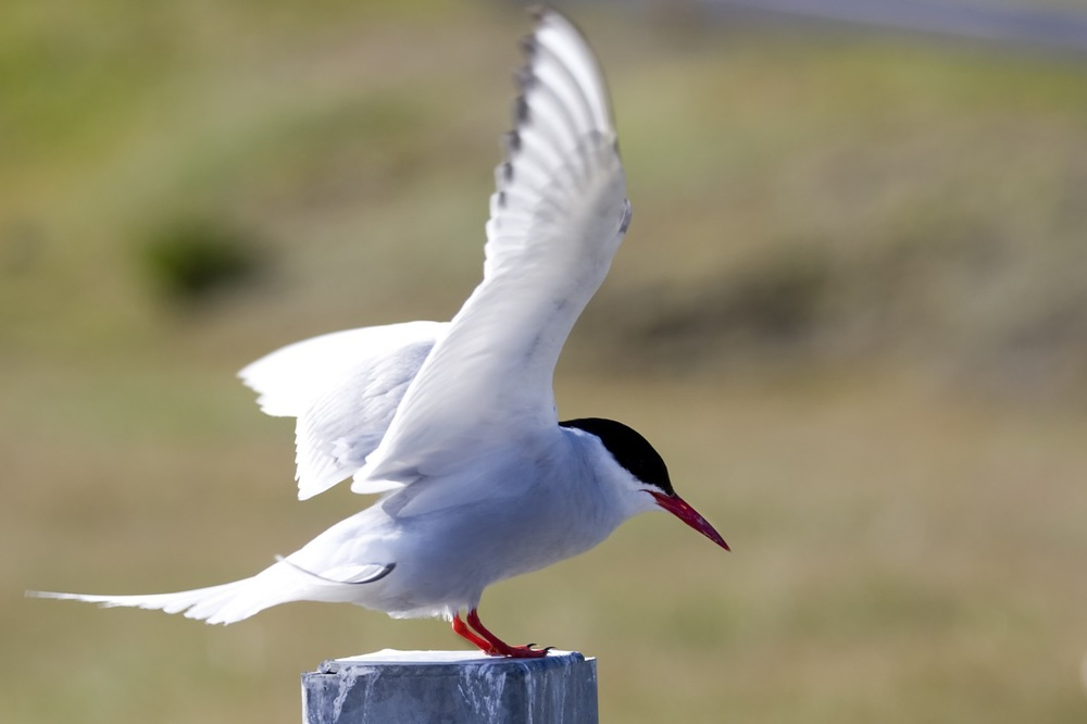Birdlife and birdwatching in west Iceland