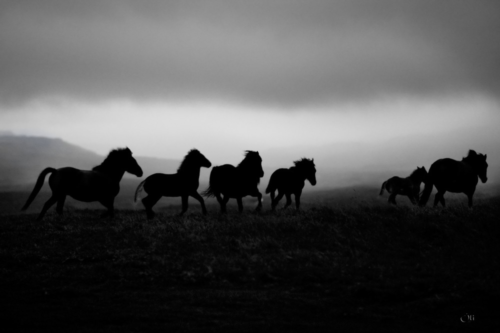 The icelandic horse, west Iceland