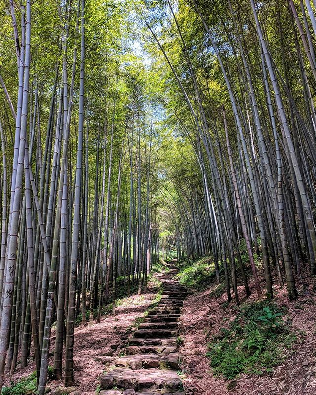 One step at a time... . . #wuxie #bambooforest #China #china🇨🇳 #chinatravel #traveldiaries #travelers #travelchina #travelchannel #nature #naturelovers #folkscenery #roamtheplanet #earth_shotz #earthfocus #earth #earthpix #earthpics #wildernessculture #wilderness #forests #bamboo #walk #ourplanetdaily #beautifuldestinations