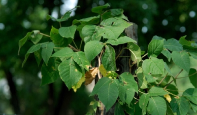 stuffyoushouldknow-podcasts-wp-content-uploads-sites-16-2015-01-poison-ivy-600x350.jpg