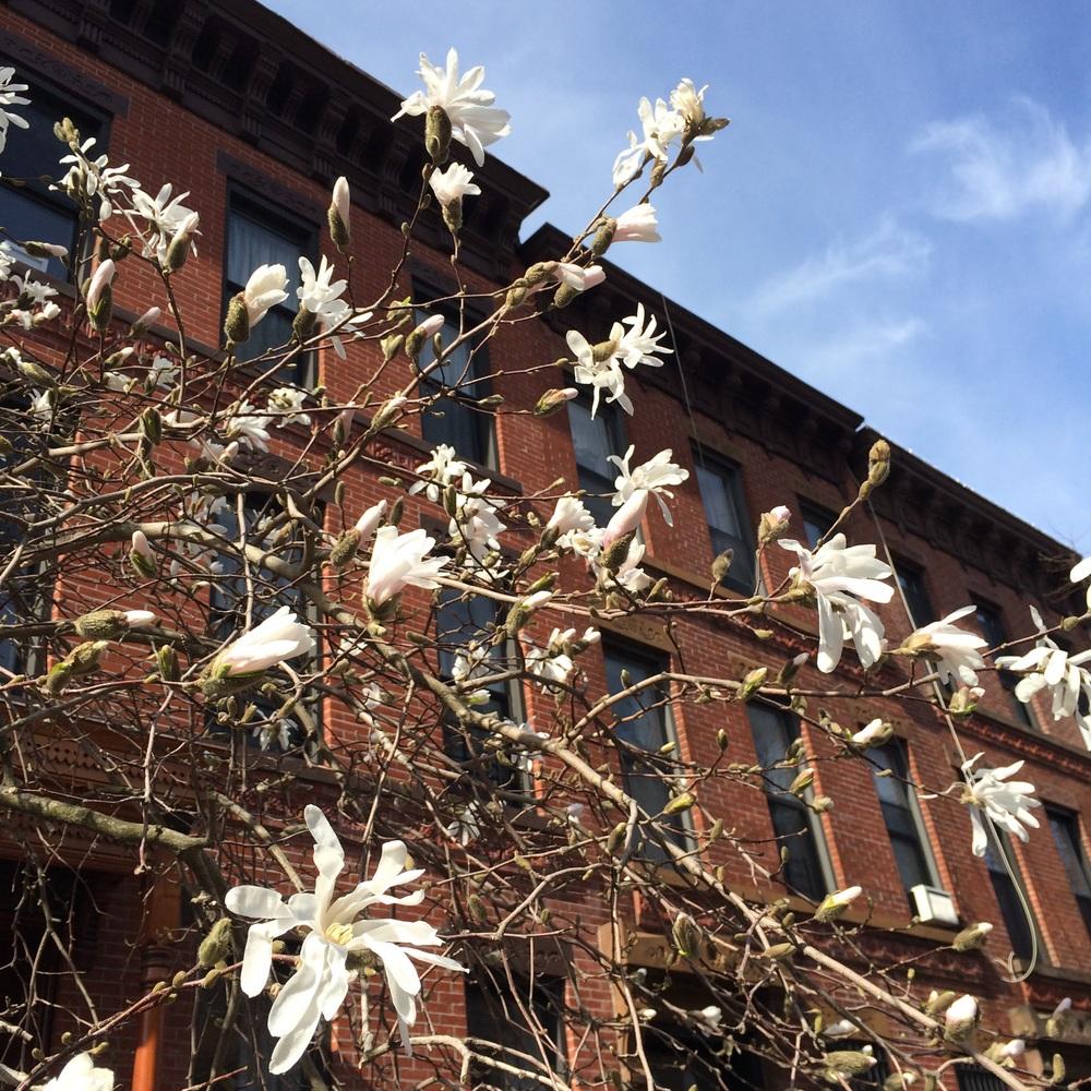 Magnolia stellata on 10th Street. Park Slope, Brooklyn