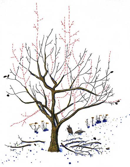 Illustration till artikel om fruktträdsbeskärning, Allers Trädgård.