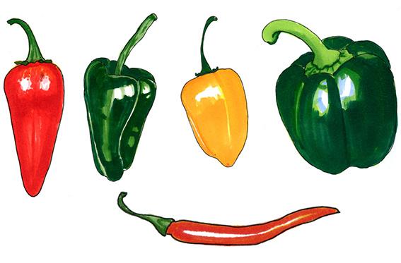 Illustration till artikel om chilipeppar, Allers Trädgård.