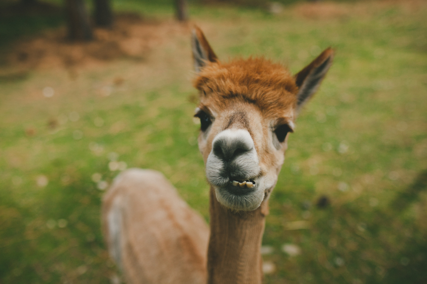 Alpaca Farm Wedding Photography