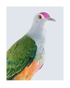 63 Rose-crowned fruit dove.jpeg