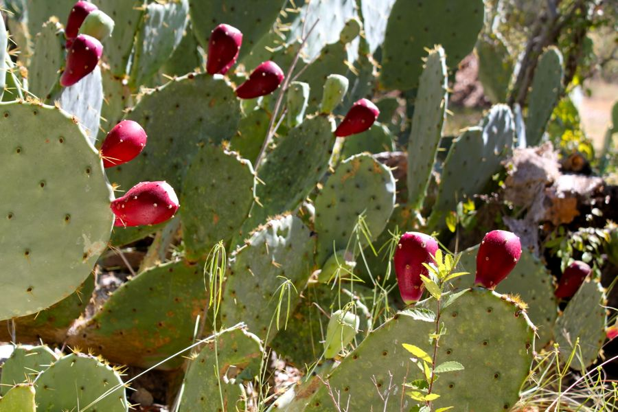PricklyPear_1_9.10.2012.jpg