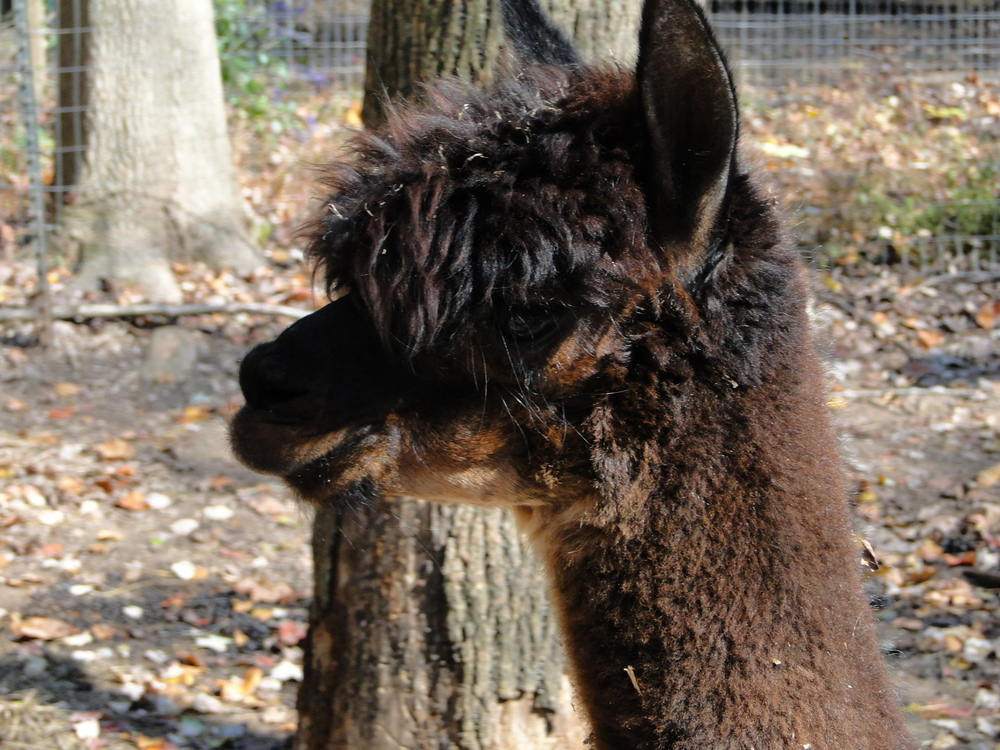 Meet Bitsy of Alpaca Joy