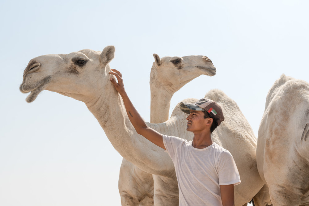 A Kuwaiti boy cares for his Camels' in the intense summer sun. Kuwait Desert, 2018.