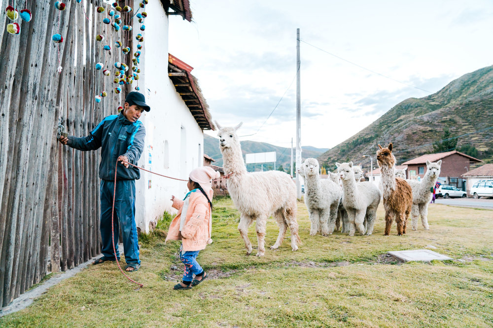 Young girl helps her father take the Alpacas back to their pen. Peru
